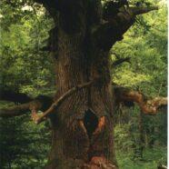 Shamaner og træer